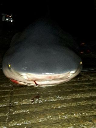 A bull shark caught in the Hastings River near Port Macquarie. Picture: Yep, I'm On Fishi