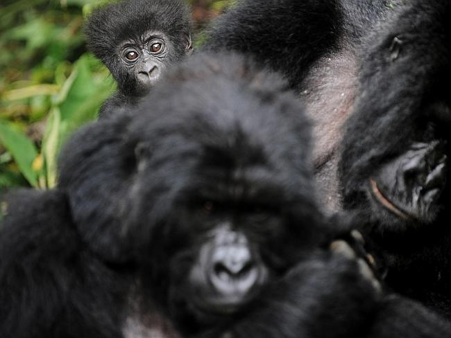 Ravaged ... a baby gorilla peeks from behind two female adults in a clearing on the slopes of Mount Mikeno in the Virunga National Park, reknowned for its rare and endangered mountain gorillas. Picture: Roberto Schmidt