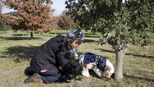 Snuffles sniffing out the truffle. Picture: Tatyana Leonov