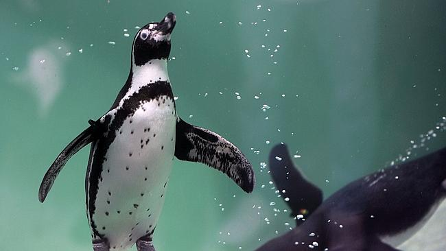Anxious ... Humboldt penguins at a British sanctuary are being medicated for depression.