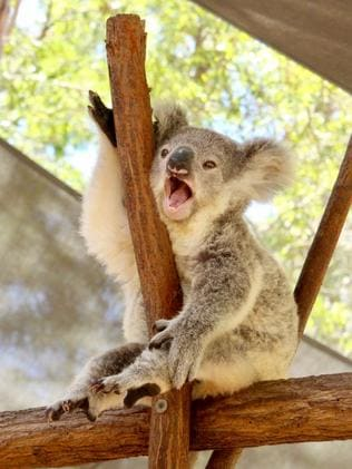 SERENITY: Time to look around for this koala at Paradise Country.