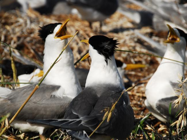 Up to 1000 terns - among other bird species - inhabit Montague Island. Picture: Environment and Heritage NSW