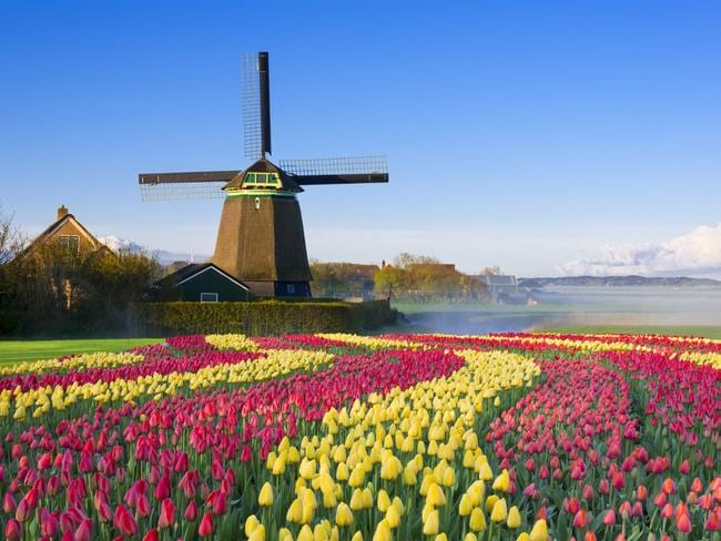 Tulip fields in front of a traditional Dutch windmill.
