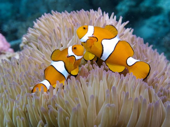 Clown fish on a reef north QLD. Picture: Sola Hayakawa