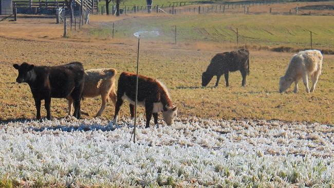 Cows among the frost at Warwick. Pic: Terry West, Southern Downs Weather and Stormchasing.