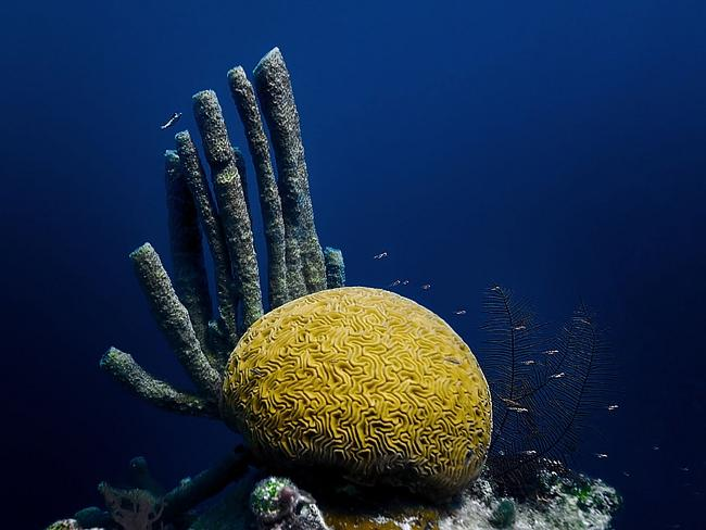Underwater photo of brain coral and trunk fish taken in the Great Blue Hole.