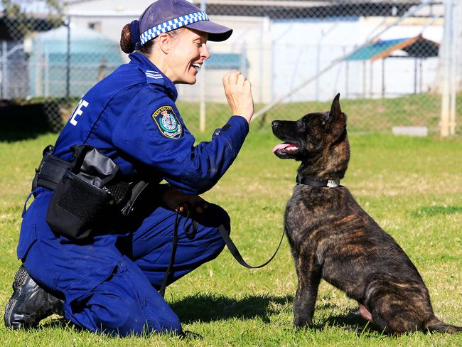 Police Dog In Training After Dognapping Ordeal In Gymea