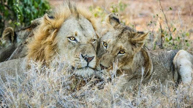 Beautiful bond ... Two lions show their affection. Picture: Robert Irwin