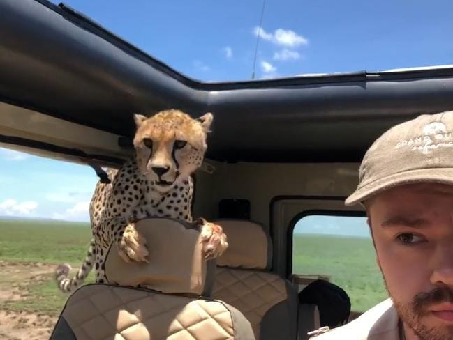 A cheetah gave a safari tour in Tanzania the experience of a lifetime after it jumped into the back of the vehicle and had a sniff around. Picture: Facebook/Peter Helstein