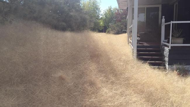 Leanne Gloury has said the plague of tumbleweed that has blown into her property is out of control. Picture: Leanne Gloury