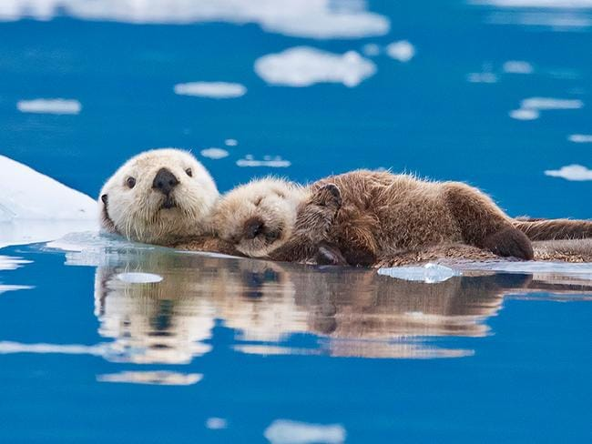 Cuddly critters ... These sea otters huddle together to keep warm as they go for a dip in a freezing cold lake. A baby otter even sleeps on its mother as they float on the surface of the lake which is surrounded by ice. Picture: Roman Golubenko/Solent