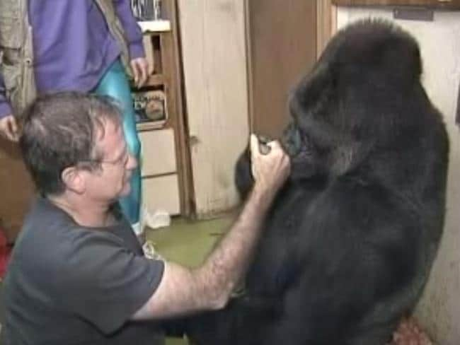 True affection ... Robin Williams helped Koko get over the death of a gorilla friend.