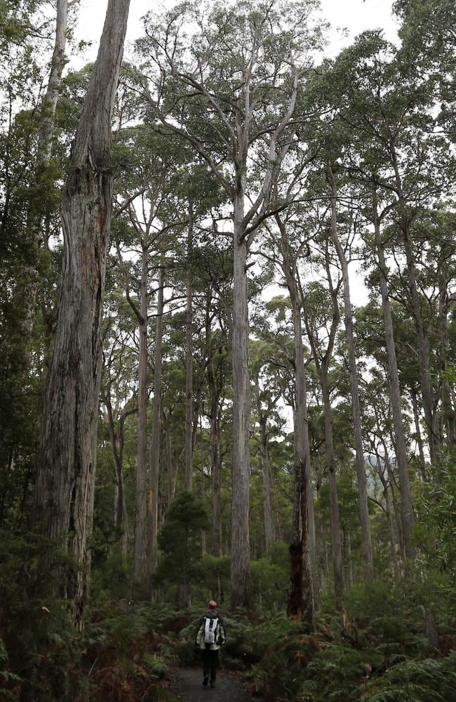 Trees so tall they won't fit in this photo: The Australian government is trying to have 74,000ha of declared World Heritage forest area revoked to allow logging. Picture: EPA