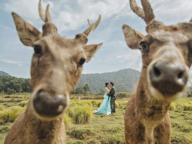 Oh deer! This pair of curious deer were more interested in the photographer than the special couple. Picture: HENDRA LESMANA / CATERS NEWS