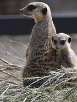 Meerkat.zoo pics by Georgie Smith Picture: Smith Georgie