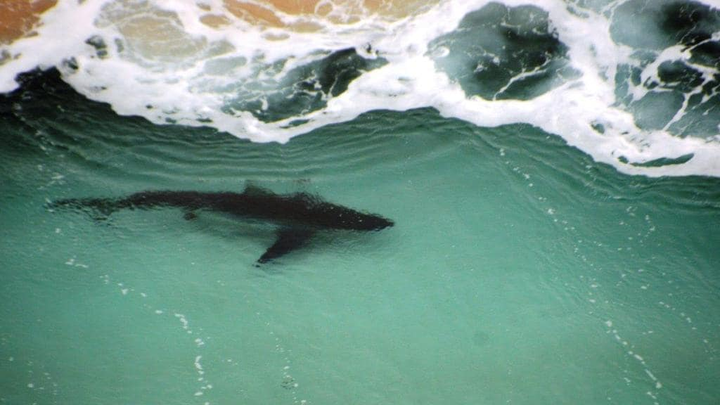 A shark spotted by the Surf Life Saving WA Westpac Rescue Helicopter at Windmills surfing break, near Cape Naturaliste, on Easter Monday.