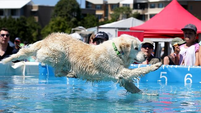 "Dogs including ""Winston"" compete in the Dockdogs Nationals at the Gold Coast Pet Expo at Varsity Lakes. Pic: Adam Head"
