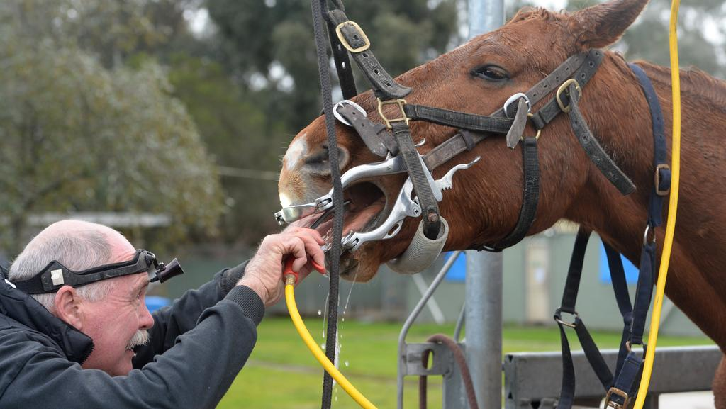 how to become a horse dentist in australia