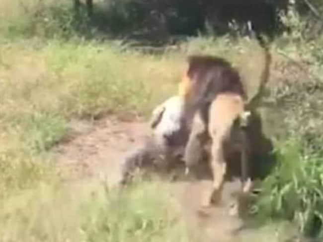 Mike Hodge was attacked by a lion at the Makarele Predator Centre in Thabazimbi, South Africa. Picture: Twitter