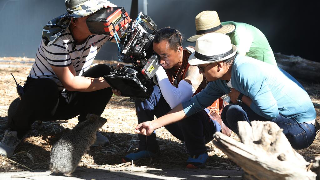 The Chinese crew films quokkas at the Adelaide Zoo. Picture: Calum Robertson