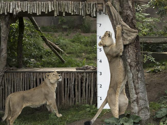 An Asiatic lion stands to reach a bag with meat in it during a photocall to promote the London Zoo annual 'weigh-in' event in August. Picture: Getty