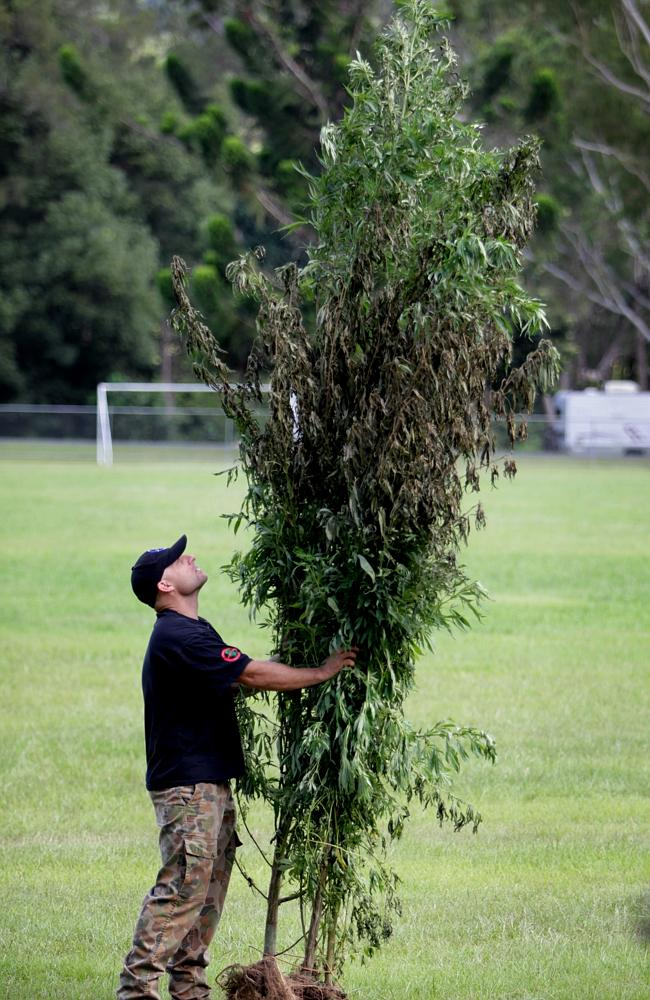 Officers from the NSW Drug Squad conduct the 2014 Cannabis Eradication Program (CEP) near Uki on the NSW far north coast. Officers tag and load a 4 meter high plant seized from a nearby commune