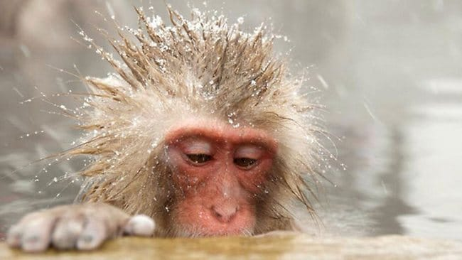 Chilly reception: Jigokudani Snow Monkey, Nagano, Japan. Picture: Claire Wadey.