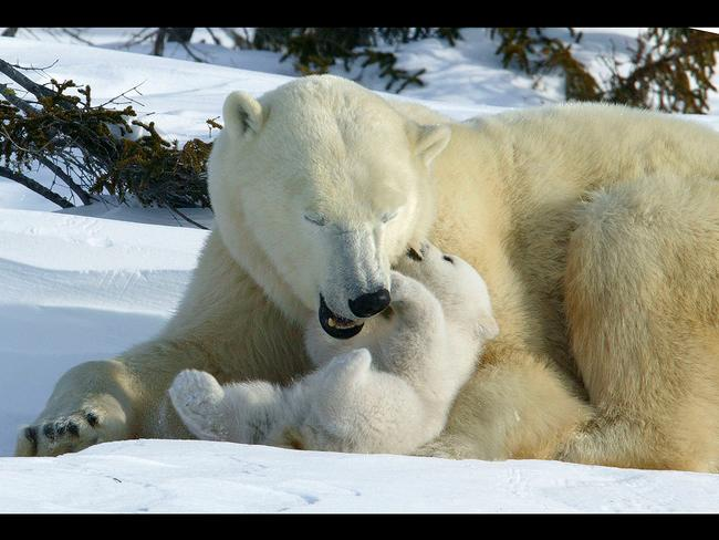 A polar bear female with her cub. Picture: Picture Media