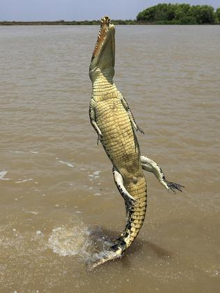 A saltwater crocodile leaps from the water at Kakadu in the Northern Territory. Photo: BIOSPHOTO