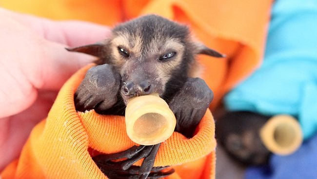 Flying fox babies drink milk of human kindness on trip ...