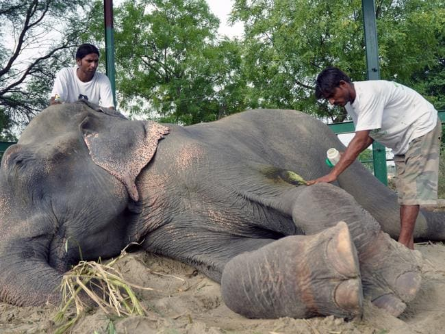 Raju after his release with reformed former mahout Sonu Ali, who will care for him at the sanctuary. Picture: Press People/Wildlife SOS