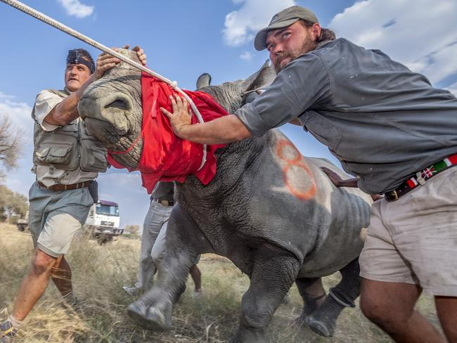 Neil Aldridge's image, titled Saving a Species, shows vets and conservationists guiding an adult white rhino out of its transport crate and into the wilderness of northern Botswana as part of a translocation operation to restore the country's lost rhino populations. Source: Supplied