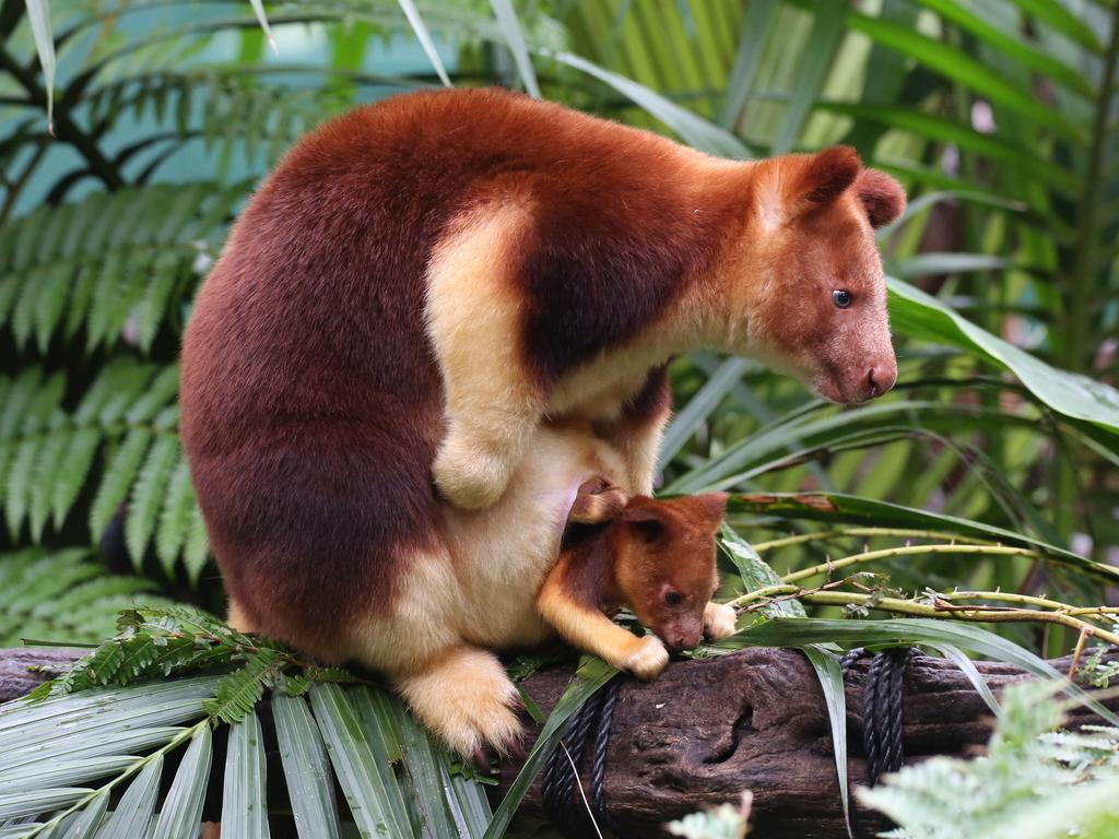 meet perth zoos cutest resident six month old goodfellows tree kangaroo