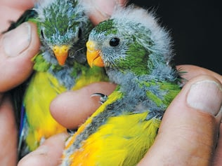 There are only three (3) breeding pairs of Orange Bellied Parrots left in the wild. Dejan Stojanovic of ANU (Australian National University) speaks to the media about a last ditch effort to save the species before extinction. Pictured are Orange Bellied Parrots. Picture: MARK HOLDSWORTH.