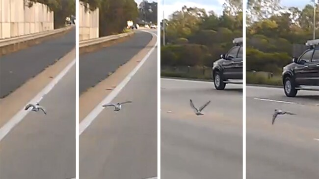 Pigeon speeding along Pacific Motorway M1 at Coomera on Gold Coast.