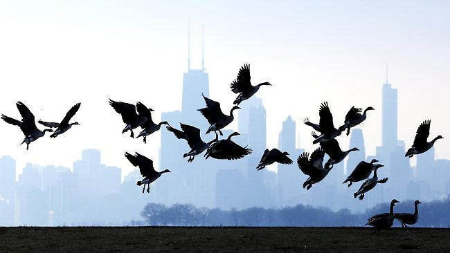 Geese flying over Lake Michigan in Chicago, US