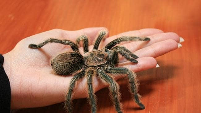 Christine Schipp became hot and flustered even talking about Tarantulas over the phone. Picture: Supplied