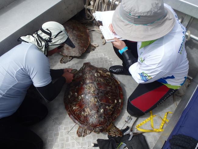 A research team processing a green turtle on a boat. Picture: Supplied
