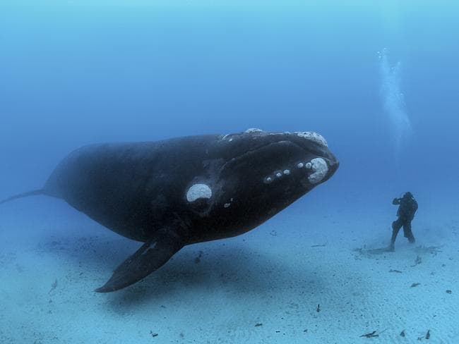 A southern Right Whale captured in a photo near New Zealand. Picture: Brian Skerry