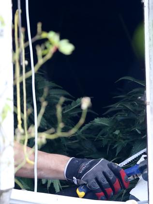Police discovered 400 Cannabis plants inside a cottage at Hurstville. Picture: John Grainger