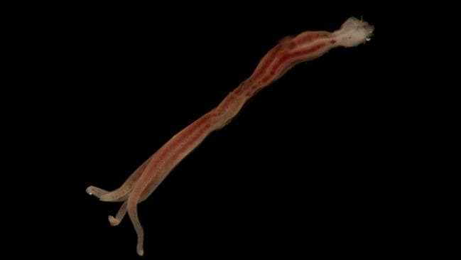 Zombie worms are commonly found in the decaying remains of whales on the ocean floor, burrowing into their bones to reach the sustenance within. With no functioning mouths, guts or anuses, they have bacteria that digest these grisly remains for them. Picture: Rob Zugaro/CSIRO/Museums Victoria