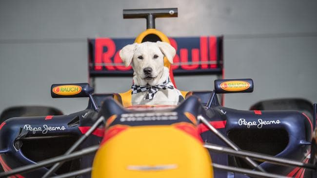 Buffy the guide dog at the helm of the Red Bull F1 car. Picture: Jason Edwards