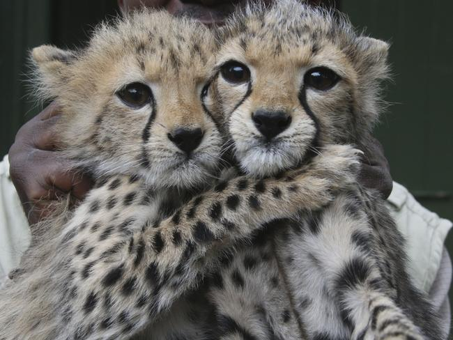 Uncertain future ... Two 3-month old female Cheetah cubs at the Nairobi Orphanage in Nairobi, Kenya. The two Cheetah cubs were abandoned by their mother due to shortages in prey.