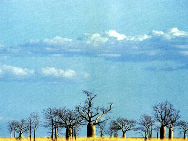 "Baobab trees near Derby, Western Australia, from the book ""The Outback"", Angus & Robertson."
