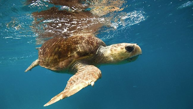 A loggerhead turtle is spotted in the waters surrounding Heron Island, Queensland. Picture: Supplied