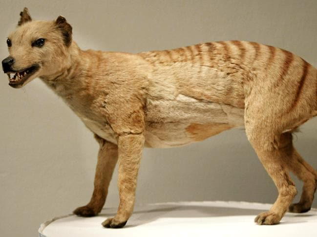 A Tasmanian tiger on display at the Australian Museum in Sydney. Picture: Torsten Blackwood