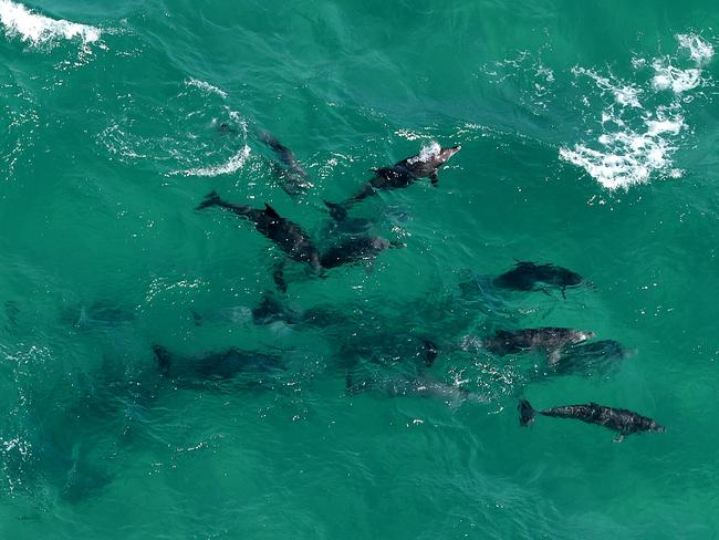 A pod of dolphin hangs 100 metres away from the 3.5 metre / Picture: Peter Lorimer