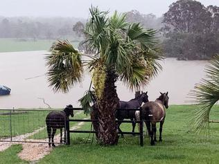 A supplied photograph obtained on Wednesday, October 18, 2017, of farm animals sheltering from the heavy rain as water rises on a property at Lowmead in Queensland. (AAP Image/Supplied by Jess Keenan) NO ARCHIVING, EDITORIAL USE ONLY