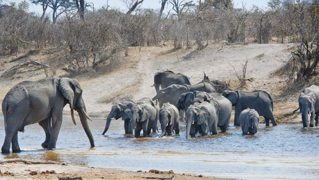 A herd of elephants cross the Savuti Channel in Chobe National Park. Picture: Lonely Planet
