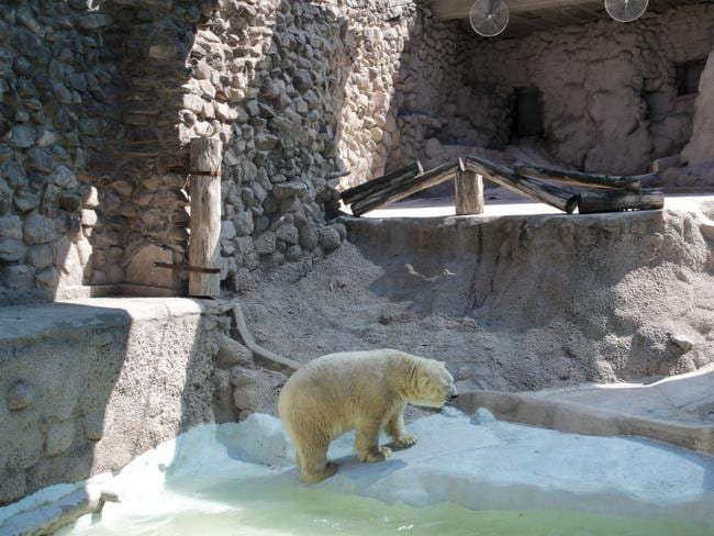 Depressed ... Arturo paces inside his concrete enclosure at the zoo in Mendoza, Argentina. Pic: Delfo Rodriguez, Greenpeace